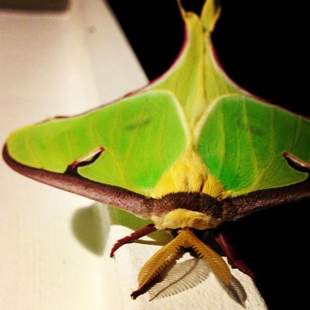 Luna Moth ♂